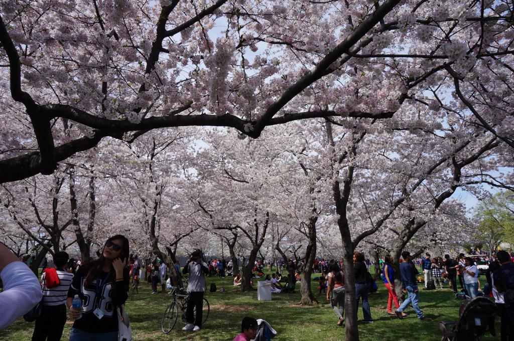 cherry blossom festival - HD4912×3264