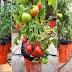 اكسب 9500 جنيه سنويا من زراعة الطماطم و الفلفل على سطح منزلك