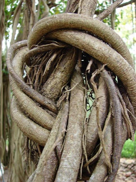 Rễ CÂY SI - Ficus benjamina - Nguyên liệu làm thuốc Chữa Ho Hen