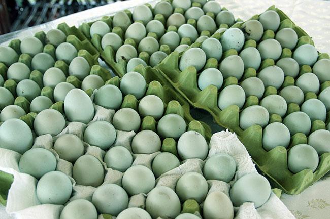 araucanas tavuklari araucanas tavuklarinin mavi ve yesil yumurtalari
