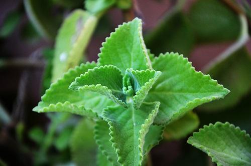 Karpooravalli - omavalli mooligai sedi ilai appearance, tamil herbs, natural medicinal herbs in tamil