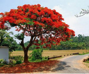 Pohon flamboyan tanaman peneduh