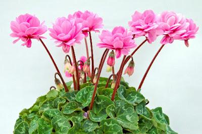 trồng hoa anh thảo trong chậu
