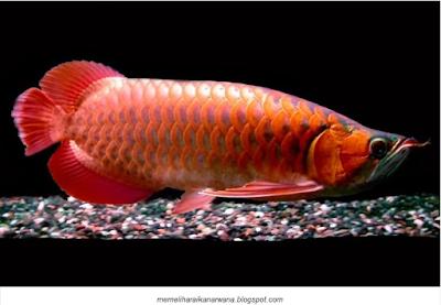 Arwana Blood Red Jenis Ikan Hias Yang Menjadi Favorit Luar Negri