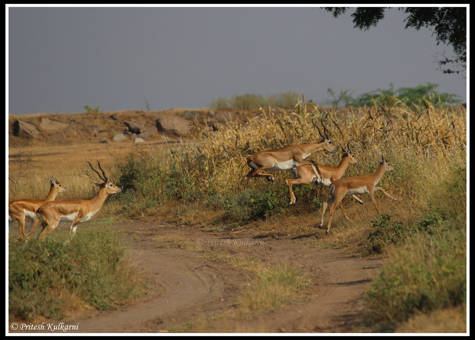 Long Jump or high jump...Blackbucks crossing road