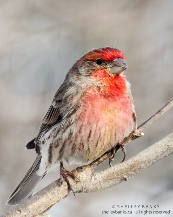 Scarlet red male House Finch. Photo © Shelley Banks, all rights reserved.