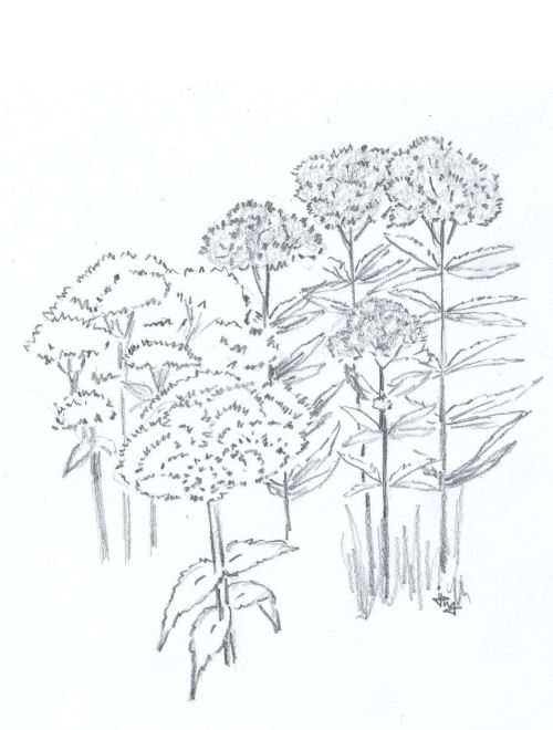 drawing joe-pye weed and boneset for the children's book The ABZ Affair