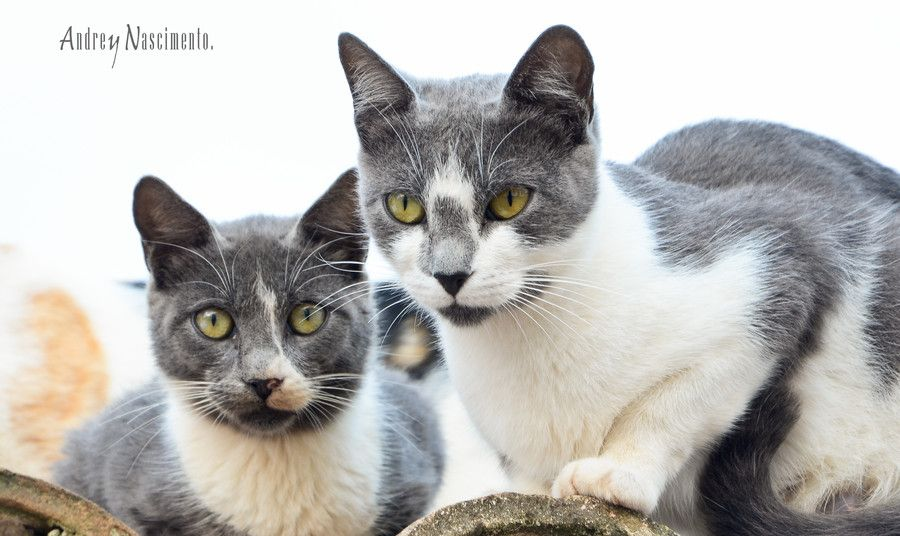 37. Twins Cats by Andrey Nascimento