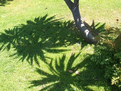 sombras de la yuca sobre el césped