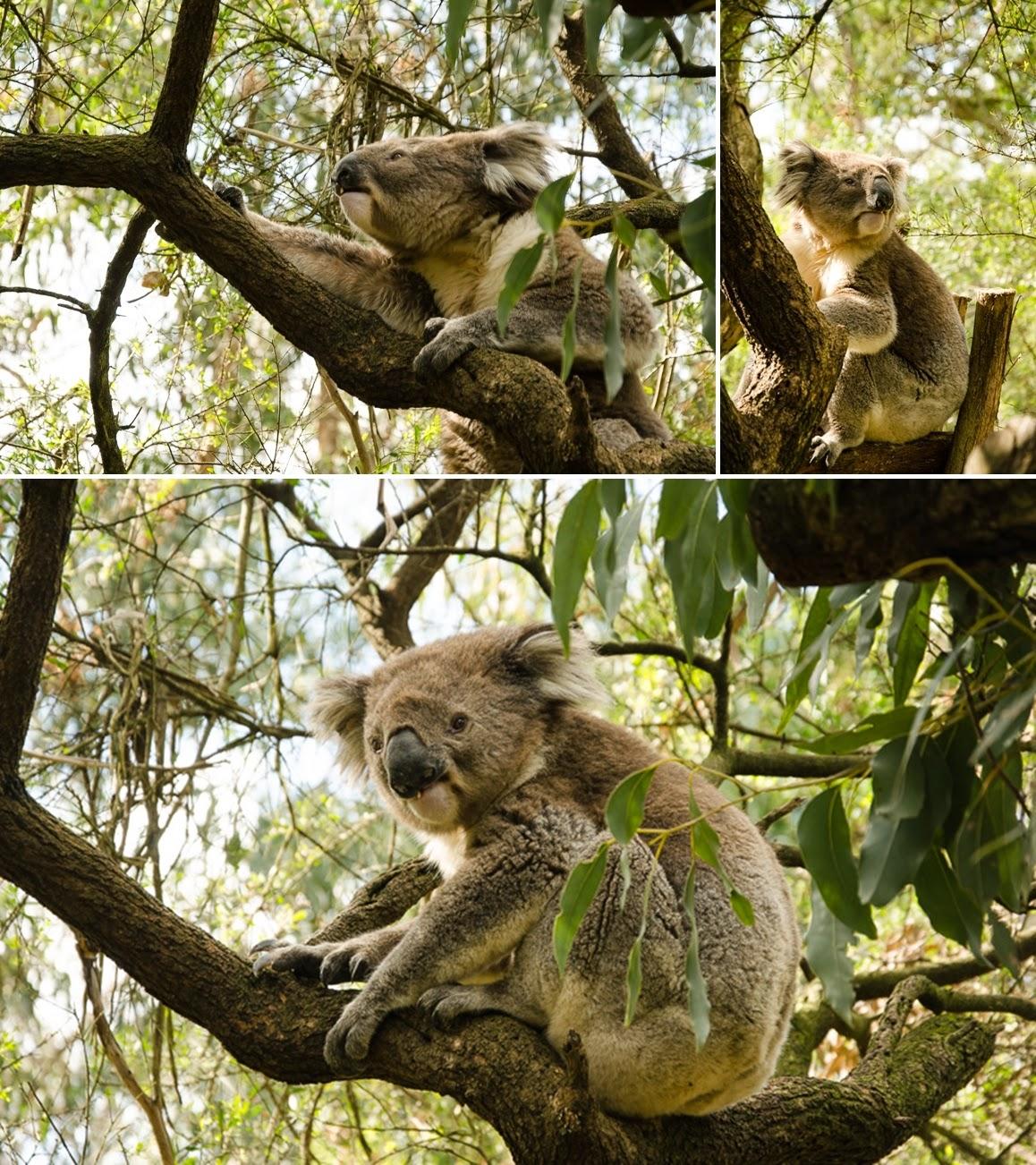 koalas - australia 2014