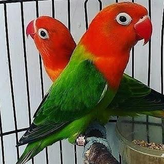 harga-burung-lovebird-biola-2019