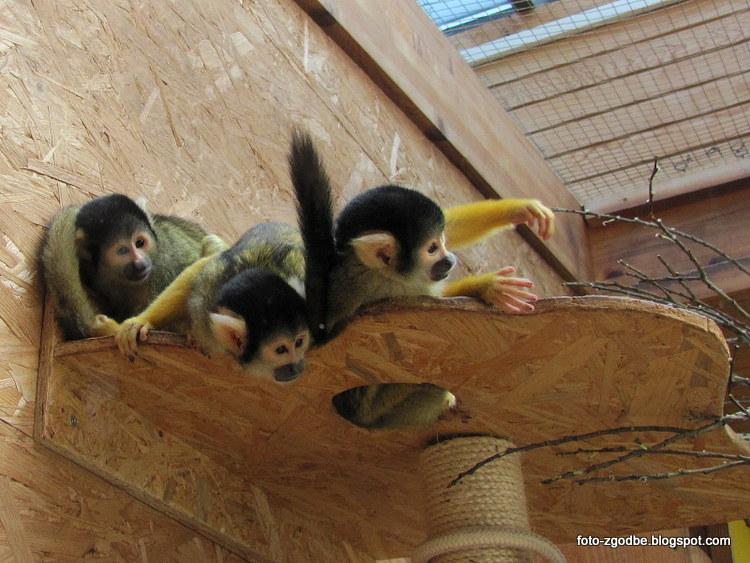 Sajmiri opice