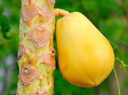 The Amazing Of Health Benefits of Papaya Yellow - Healthy T1ps