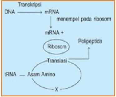 Biologi gonzaga soal substansi genetik 1 dari diagram sintesis protein di samping yang berlabel x merupakan ccuart Image collections
