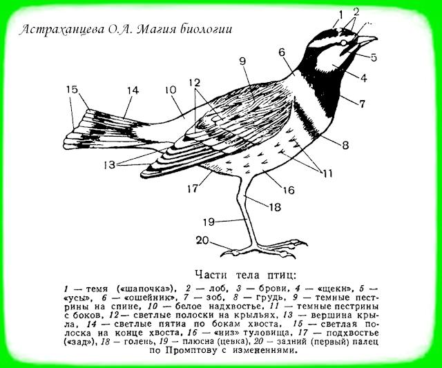 строение птицы, части тела, крылья, клюв, хвост