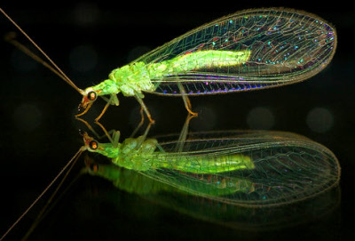 Temperate Climate Permaculture: Beneficial Insects: Lacewings