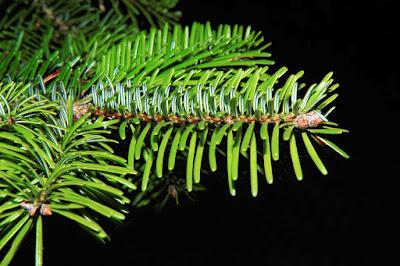 El abeto, un árbol con muchos beneficios para la salud
