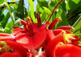 Bunga Dadap Merah