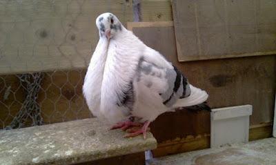 Canario Cropper - cropper pigeons