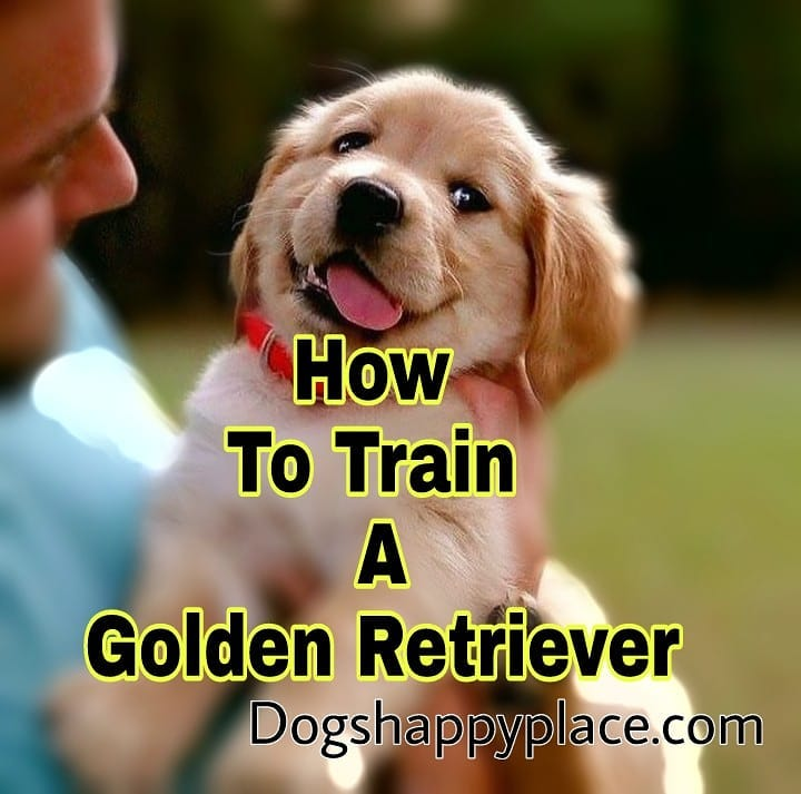 10 Simple Ways To Train Your Golden Retriever Dogs Happy Place