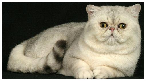 el gato exotico:
