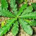 khasiat manfaat herbal Tapak liman