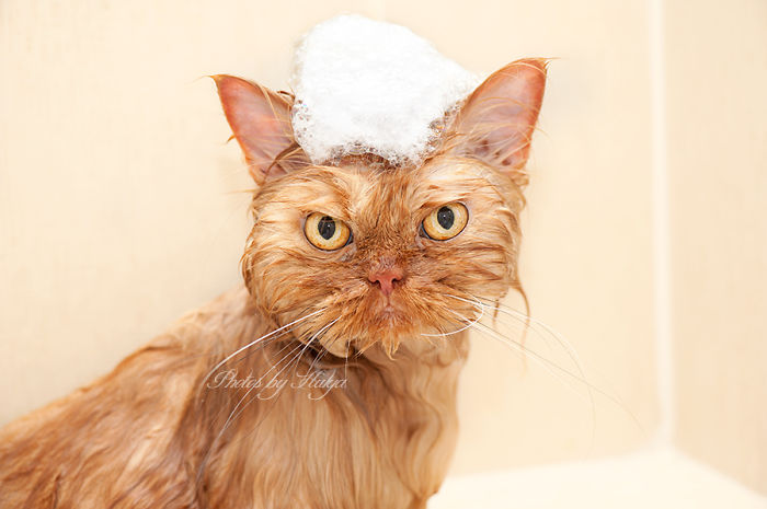 garfi-evil-grumpy-persian-cat-10
