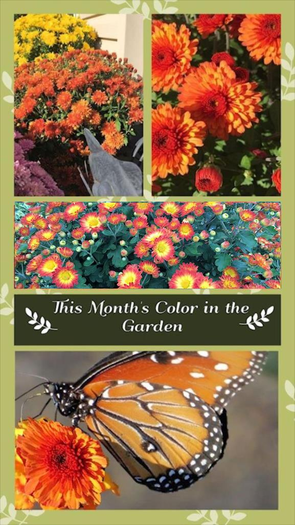A guide to northeastern gardening this month 39 s color in the garden october 2017 chrysanthemum - Gardening in october a brief to do list ...