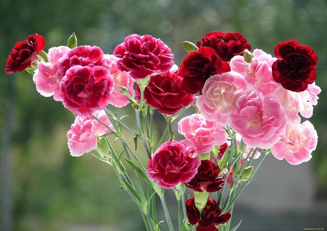 hoa cẩm chướng có ý nghĩa gì
