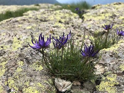 [Campanulaceae] Phyteuma hemisphaericum – Globe Headed Rampion (Raponzolo alpino).