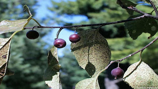 Hackberry fruit images wallpaper