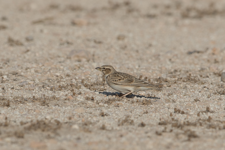 Bimaculated Lark Melanocorypha bimaculate