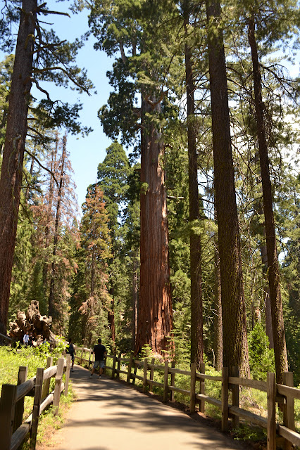fenced sequoia towers around 300 feet tall over people on paved walks