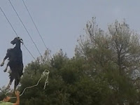 Bagaimana Bisa Kambing Tersangkut di Kabel Telepon?