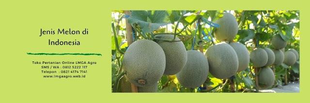 melon,buah melon,budidaya melon,melon merlin,rock melon,tanaman melon,lmga agro