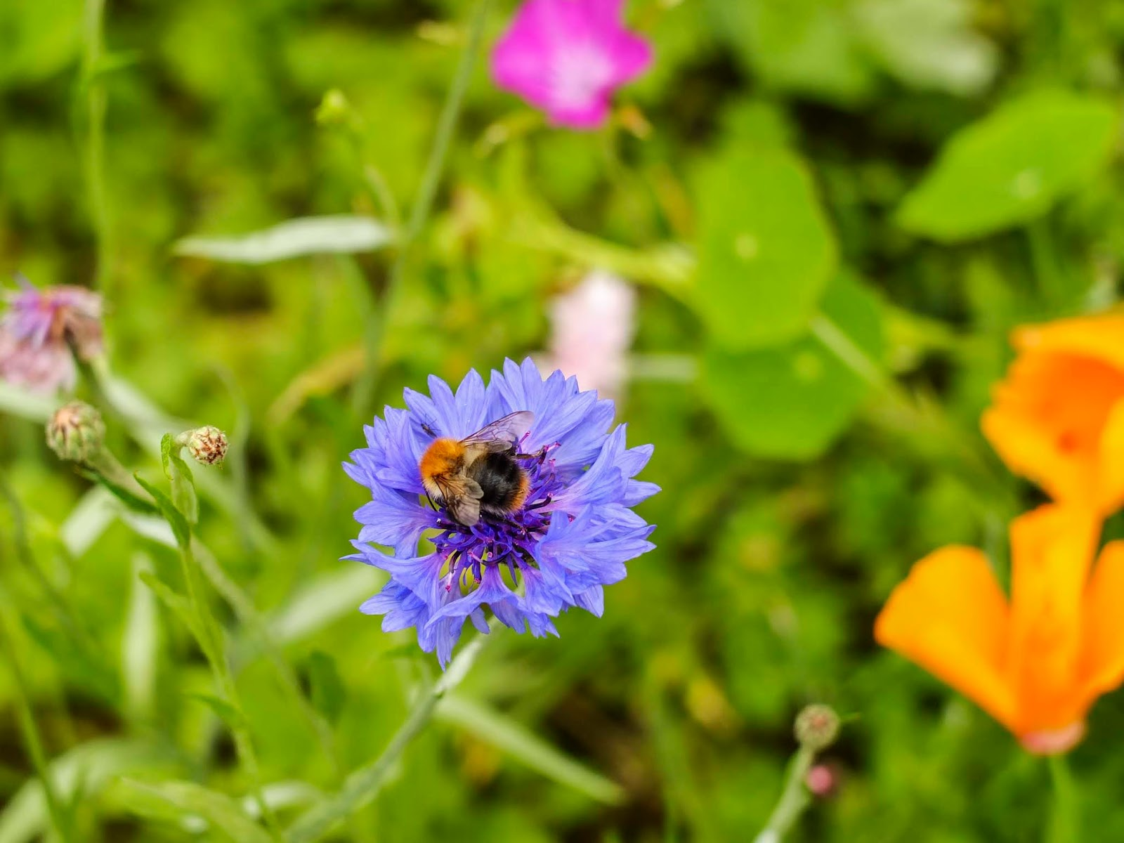 A bee sitting on a blue cornflower in a wildflower garden.