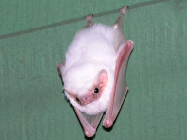 Vampire Bat | A-Z List of 125 Rare Albino Animals [Pics]