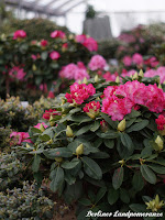 IGA Berlin Rhododendron