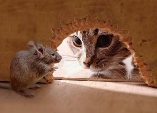 Kucing berburu tikus