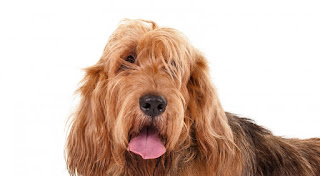 Everything about your Otterhound