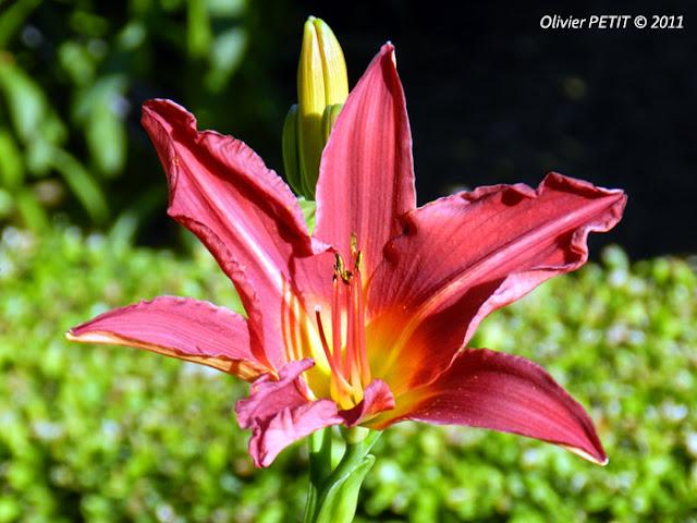 NANCY (54) - Le jardin botanique Dominique-Alexandre Godron - Hémérocalle