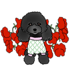 COO-chan 2 : Black Toy Poodle