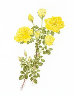 Harison's Yellow Rose – an Enduring Pioneer by Melissa Baynes