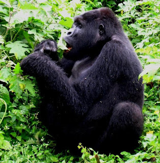 20 Days Uganda Rwanda combined safari Kampala, Jinja , Murchison Falls National Park ,Queen Elizabeth National Park  Kigali city. Volcanoes National Park
