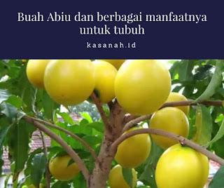 buah abiu yang belum dipetik