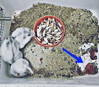 Cara Merawat Bayi Hamster Baru Lahir