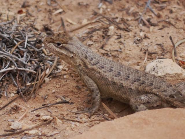 tree lizard adulte