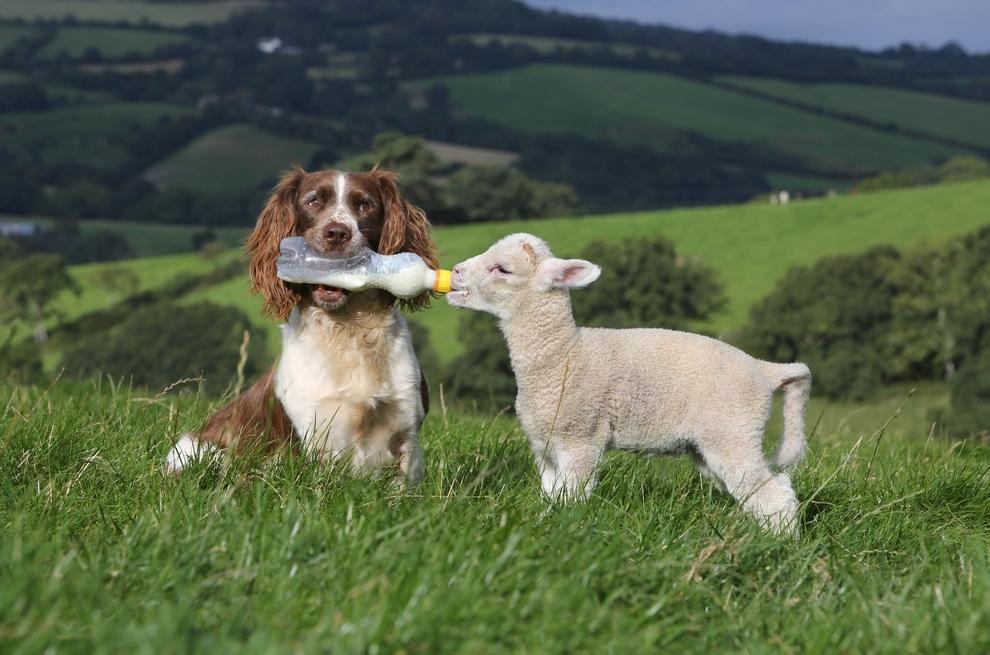 Animal Fun A Sheepdog Feeds Baby Lamb Milk From Bottle 5