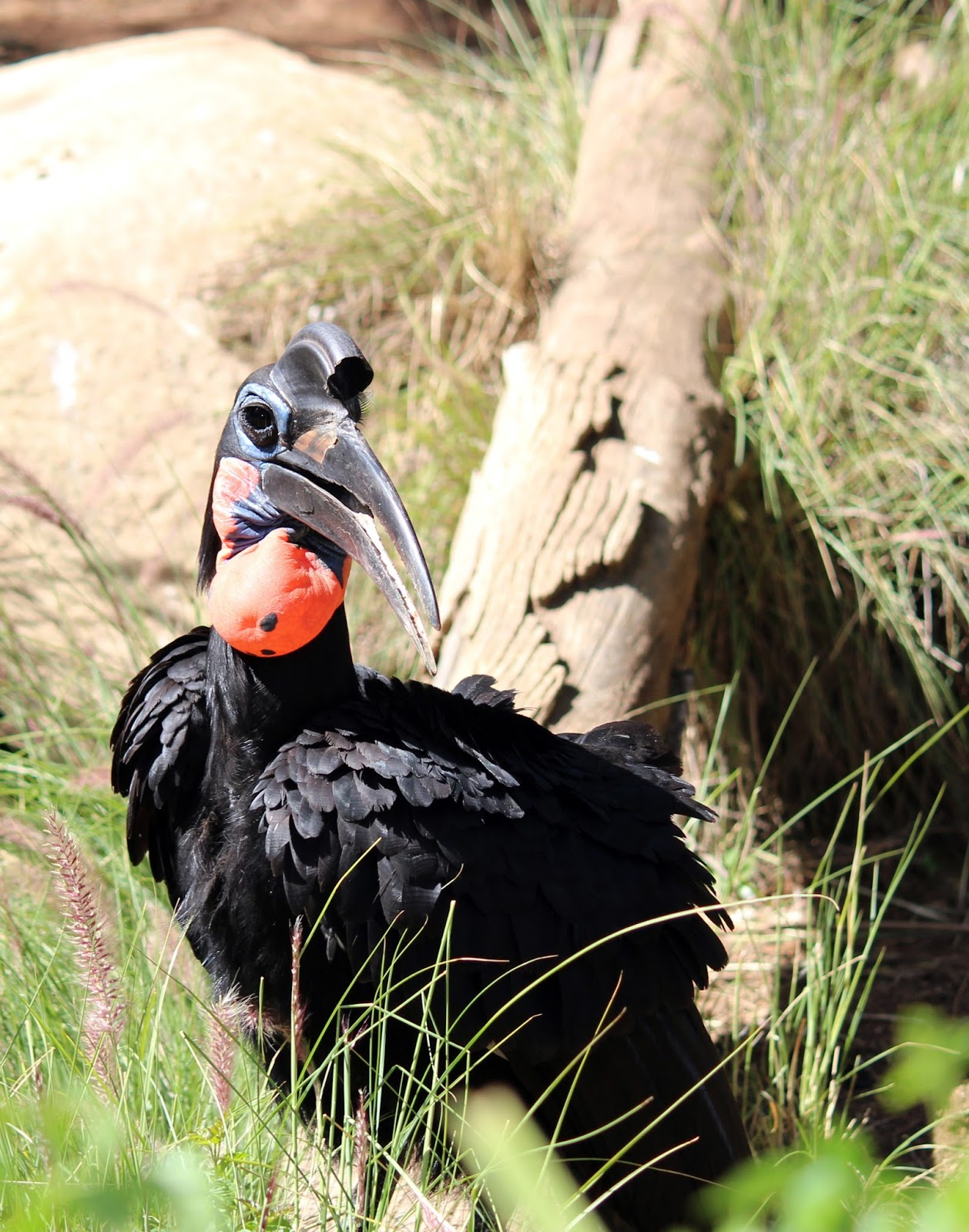 Picture of a southern ground hornbill in it's habitat.