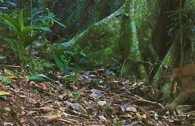 Secretaria de Agricultura e Meio Ambiente de Juquiá registra Onça Parda
